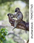 chacma baboon in kruger... | Shutterstock . vector #790927765