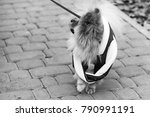 the wear  aggressive spitz dog... | Shutterstock . vector #790991191