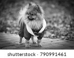 the wear  aggressive spitz dog... | Shutterstock . vector #790991461