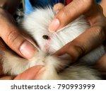 find flea tick on dog skin hair ... | Shutterstock . vector #790993999