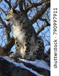 a snow leopard | Shutterstock . vector #790997911