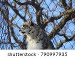 a snow leopard | Shutterstock . vector #790997935