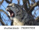 a snow leopard | Shutterstock . vector #790997959