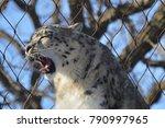 a snow leopard | Shutterstock . vector #790997965