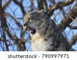 a snow leopard | Shutterstock . vector #790997971