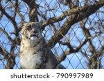 a snow leopard | Shutterstock . vector #790997989