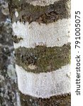 Yellowwood Tree Bark