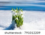 Small photo of Snowdrops rising from the snow and ice to announce spring