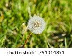 Ripened Dandelion Seeds. Fluff...