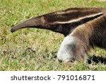 shiny nosed giant anteater... | Shutterstock . vector #791016871