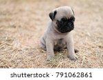 funny newborn pug dog playing... | Shutterstock . vector #791062861
