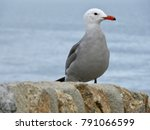 Small photo of Beautiful Audouin's Gull