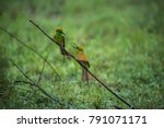 two green bee eaters conversing ... | Shutterstock . vector #791071171