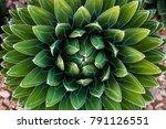 agave victoriae reginae  queen...   Shutterstock . vector #791126551