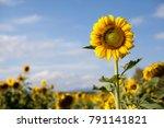 Sunflowers sunflowers blooming...