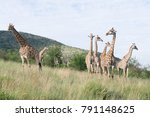 south african giraffe  giraffa  ... | Shutterstock . vector #791148625