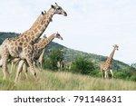 south african giraffe  giraffa  ... | Shutterstock . vector #791148631