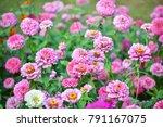 Colorful Zinnia Flowers...