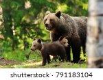 Brown Bear With Cubs. Bear...