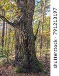 oak tree trunk in kampinos... | Shutterstock . vector #791213197
