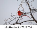 The Northern Cardinal Holds The ...