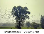 starlings during migration and... | Shutterstock . vector #791243785