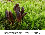 elaphocordyceps ophioglossoides ...   Shutterstock . vector #791327857