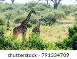 the masai giraffe  also spelled ... | Shutterstock . vector #791334709