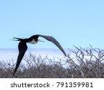 flying magnificent frigatebird  ... | Shutterstock . vector #791359981