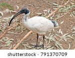 the white ibis has a long black ... | Shutterstock . vector #791370709