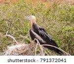 female magnificent frigatebird  ... | Shutterstock . vector #791372041