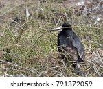 male magnificent frigatebird ... | Shutterstock . vector #791372059