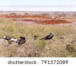 nesting colony of magnificent... | Shutterstock . vector #791372089