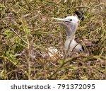 young magnificent frigatebird ... | Shutterstock . vector #791372095