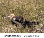 female magnificent frigatebird  ... | Shutterstock . vector #791384419