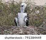 young magnificent frigatebird ... | Shutterstock . vector #791384449