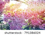 spring cherry blossoms  pink... | Shutterstock . vector #791386024