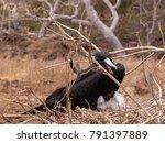 male magnificent frigatebird ... | Shutterstock . vector #791397889
