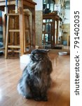 Small photo of The cat Exotic Longhair is a charming