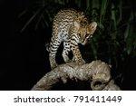 very rare ocelot in the night...   Shutterstock . vector #791411449