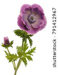 violet flower close up | Shutterstock . vector #791412967