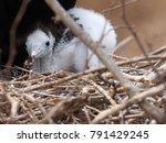 male magnificent frigatebird ... | Shutterstock . vector #791429245