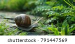 big snail in shell crawling on... | Shutterstock . vector #791447569