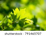 Green Leaves On Maple Tree