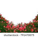 Stock photo beautiful fresh red roses bush isolated on white background natural red roses background 791470075