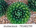 agave victoriae reginae  queen...   Shutterstock . vector #791481799