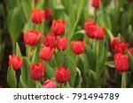 tulips in the winter of...   Shutterstock . vector #791494789