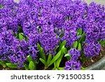 background hyacinth flowering... | Shutterstock . vector #791500351