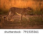 cheetah in savannah grasses ... | Shutterstock . vector #791535361
