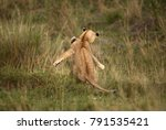 lion cubs pushing each other ... | Shutterstock . vector #791535421